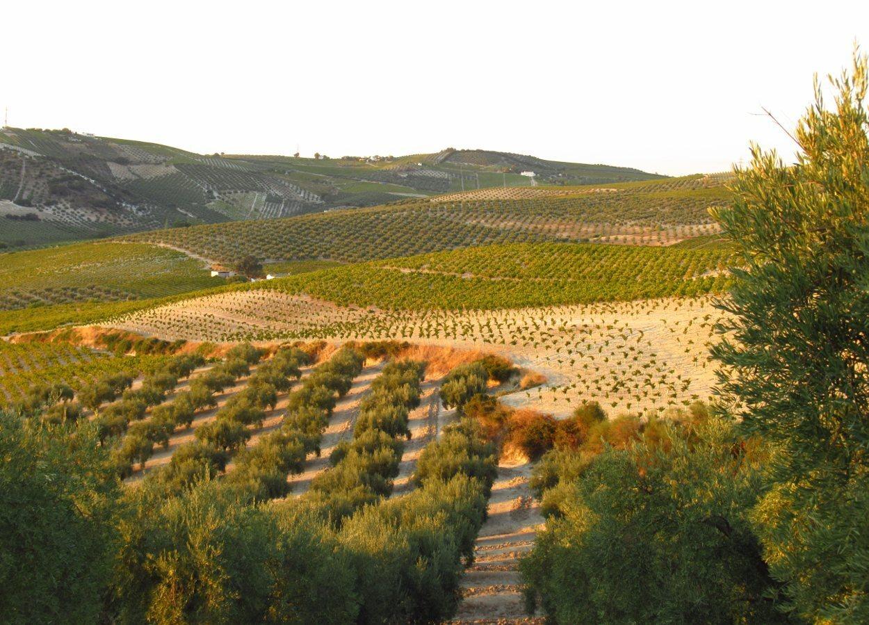 Los viñedos son la seña de identidad de la Campiña Sur cordobesa