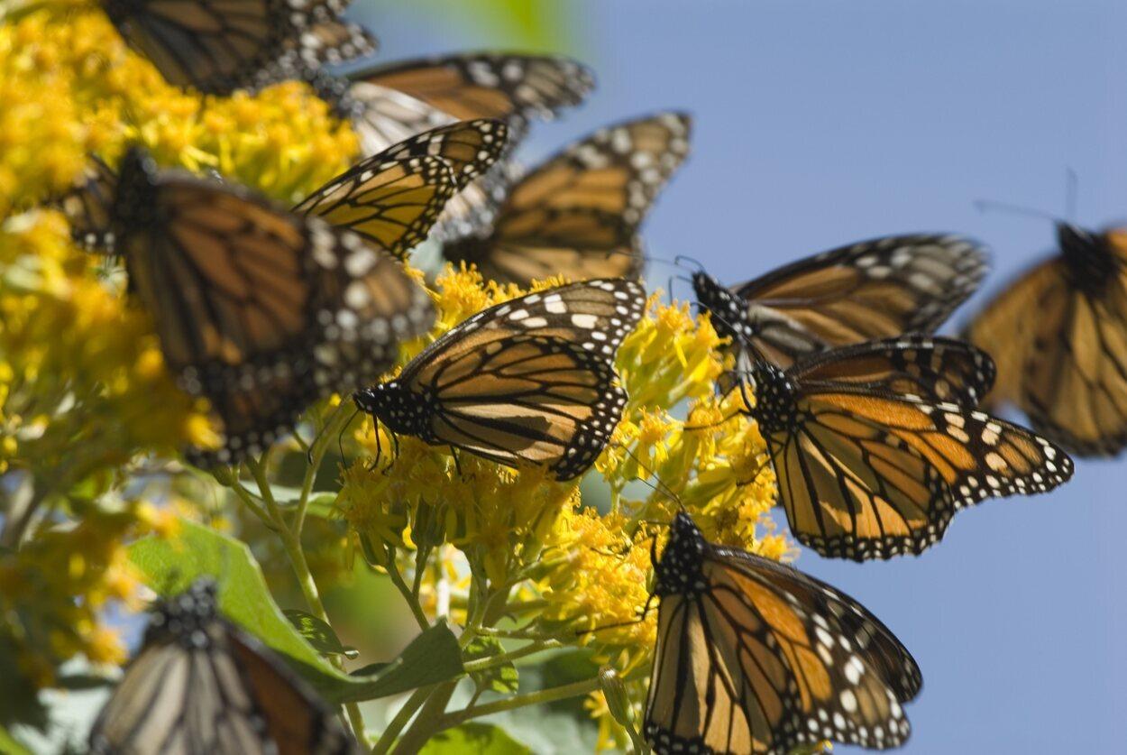 Michoacán es un santuario para las mariposas Monarca