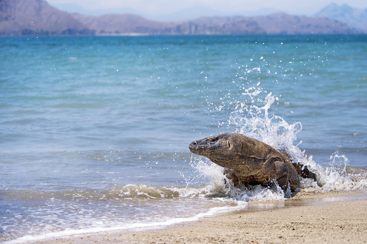 Los dragones de Komodo son capaces de nadar en el mar