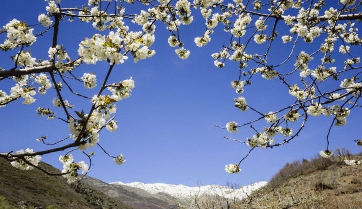 Aunque los cerezos florecen entre finales de marzo y principios de abril, la climatología puede retrasar el proceso