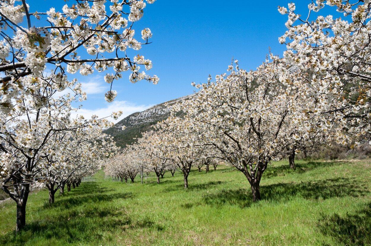 El Valle del Jerte impresiona por su belleza cuando florecen los cerezos
