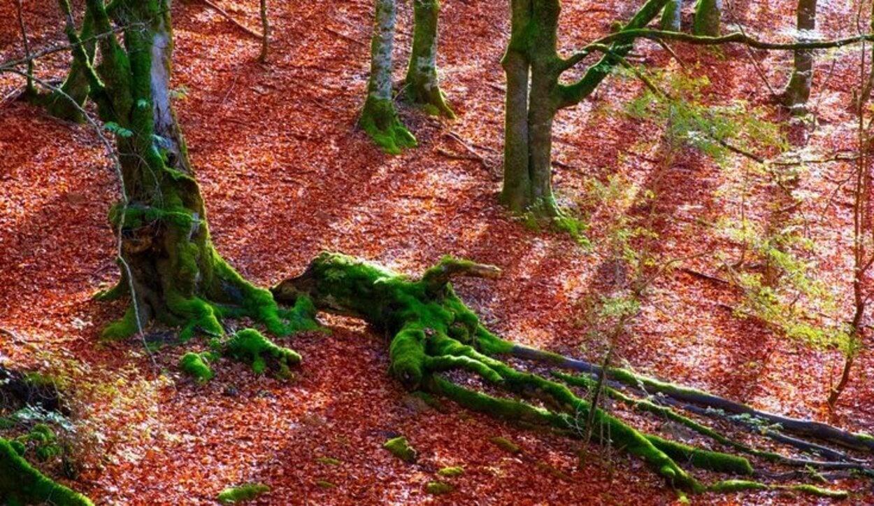 La navarra Selva de Irati se caracteriza por su peculiar tono rojizo de las hojas en otoño