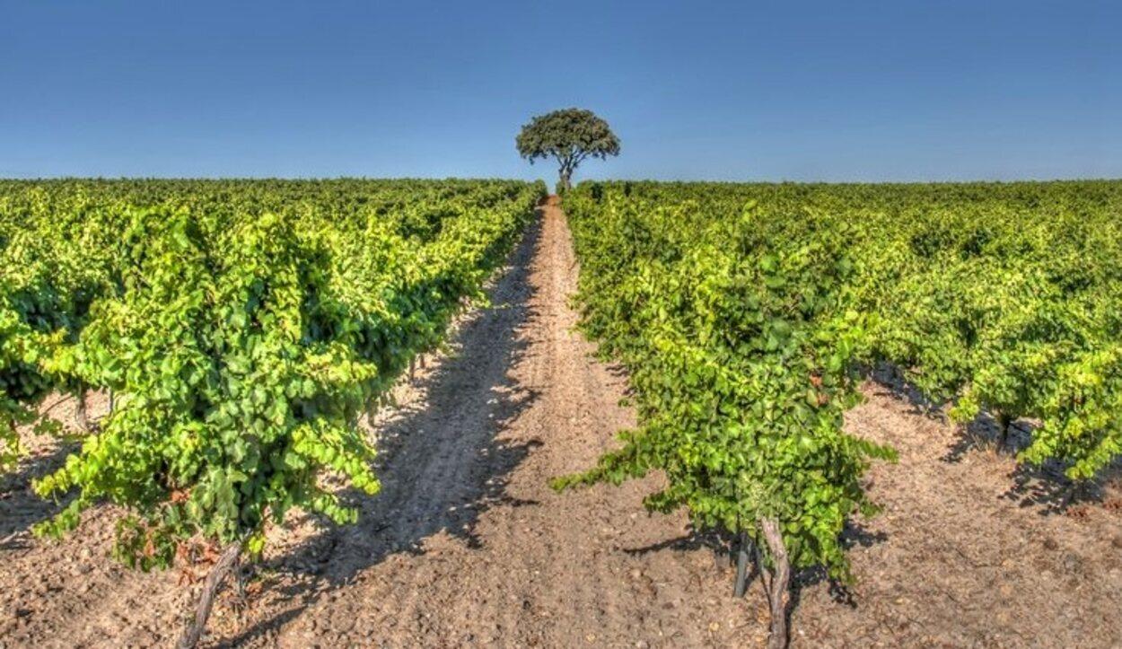 Cigales está poblada de viñedos y cepas