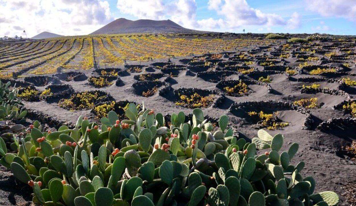 En La Geria, los vinos se cultivan en el manto de ceniza volcánica