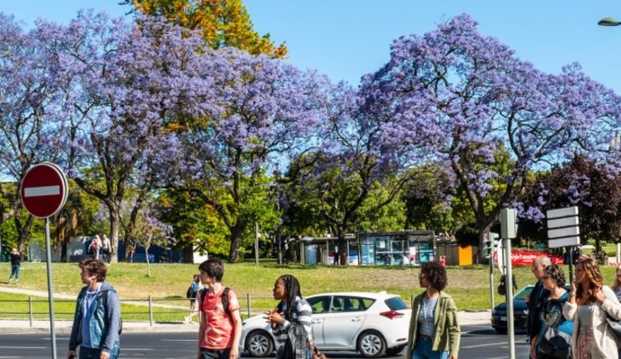 La ciudad se tiñe de violeta en primavera con la floración de los jacarandás