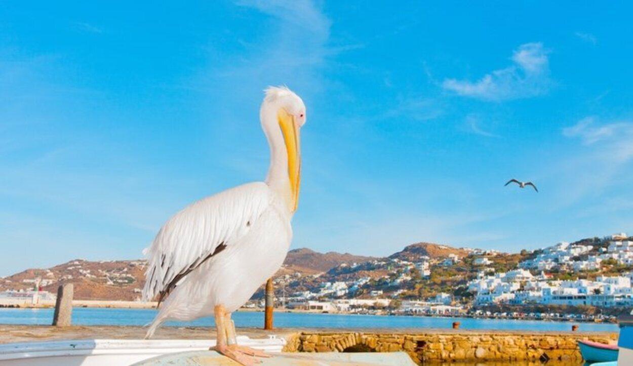 Petros, el famoso pelícano de Mykonos