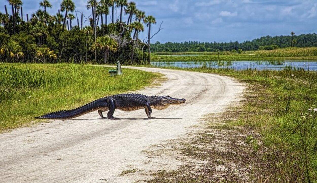 En el parque hay concentrados multitud de Alligators (cocodrilos)