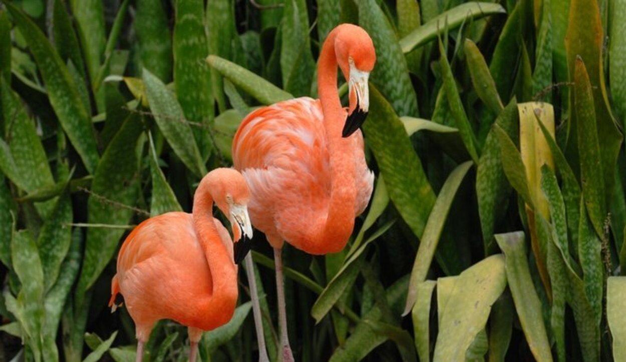 En Great Inagua habitan unos 80.000 ejemplares de flamencos rosados