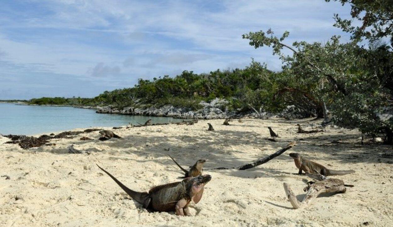 Las iguanas Allen's Cay son consideradas los vertebrados más grandes de Las Bahamas