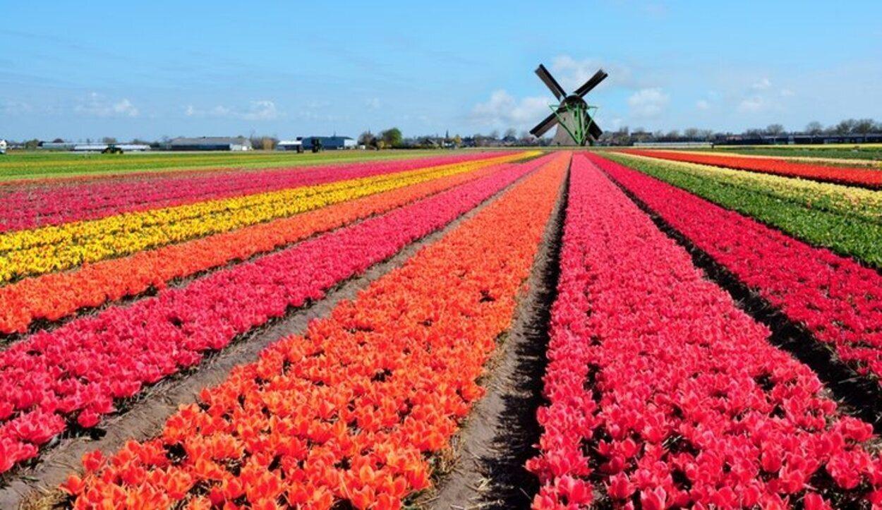 Los tulipanes y molinos más famosos del mundo se encuentran en su mayor esplendor en esta época del año