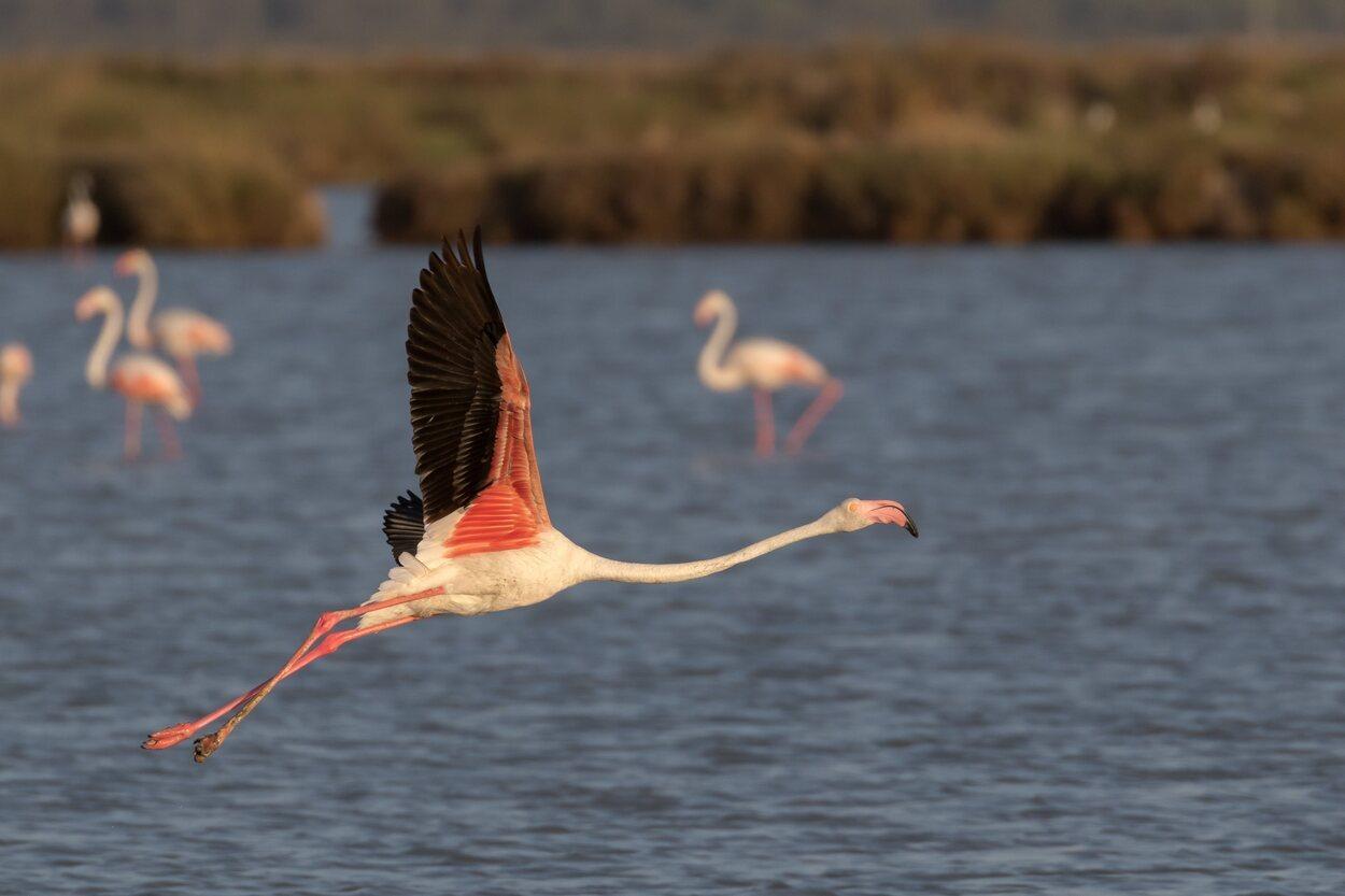Flamingo del parque de Doñana