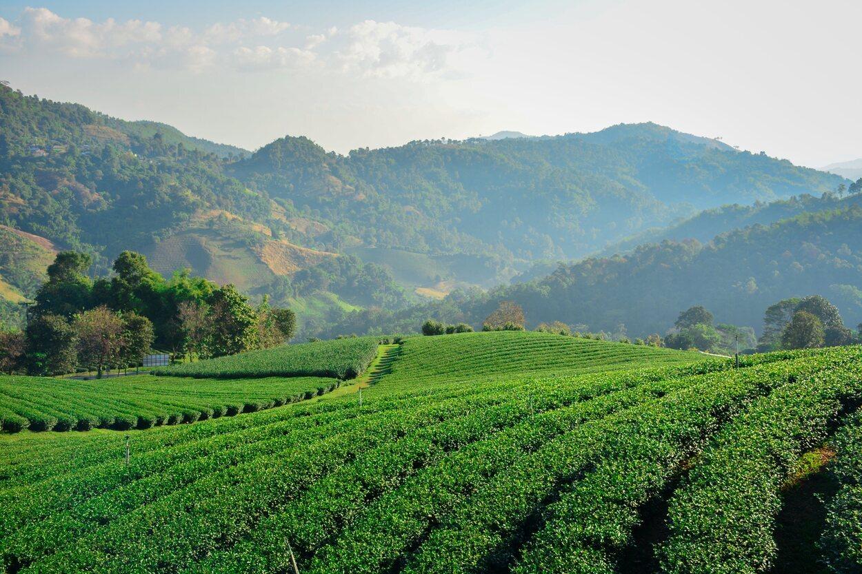 Mae Salong cuenta con enormes campos de té