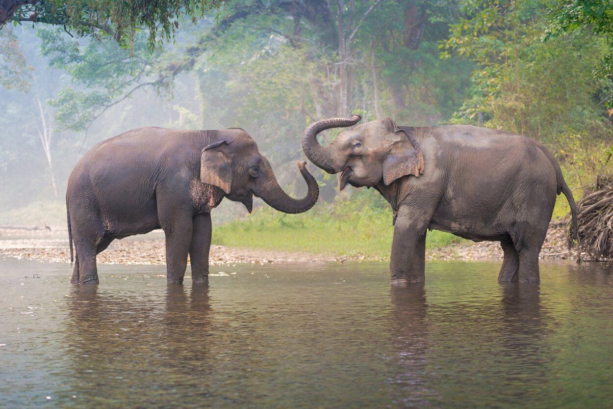 Los elefantes de Tailandia tienen que ser cuidados y protegidos