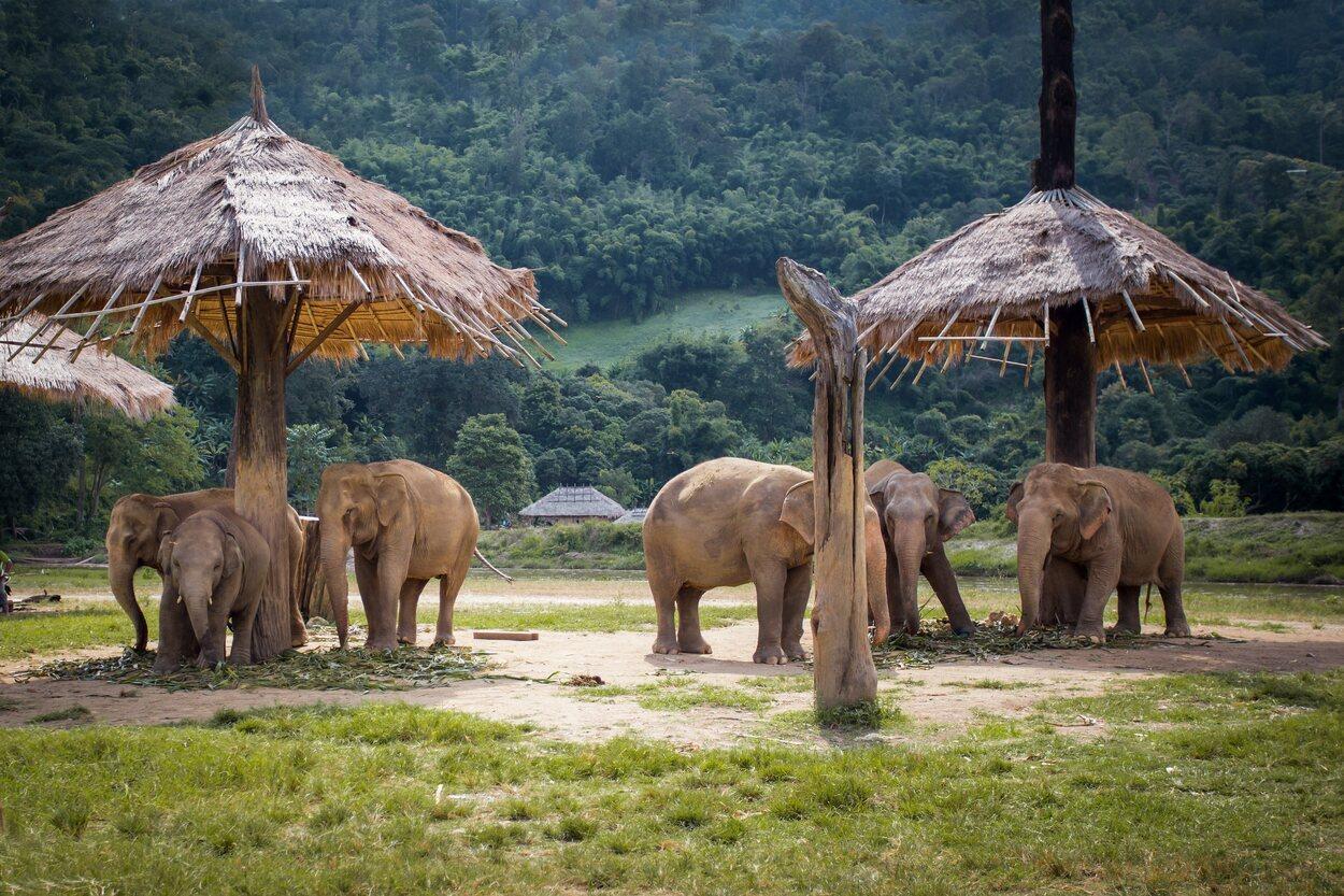En el santuario Elephant Nature Park los elefantes están sueltos y con libertad