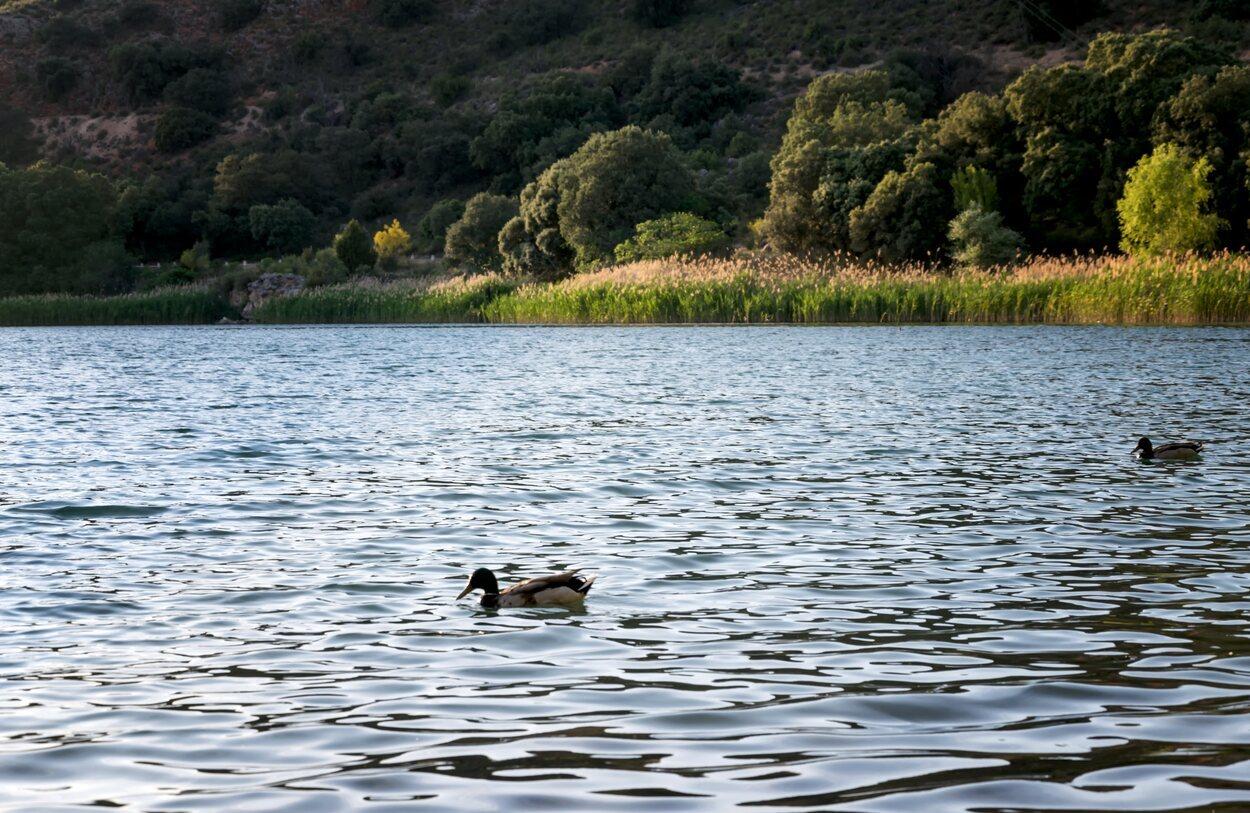 Los patos y el resto de aves, grandes protagonistas en las lagunas