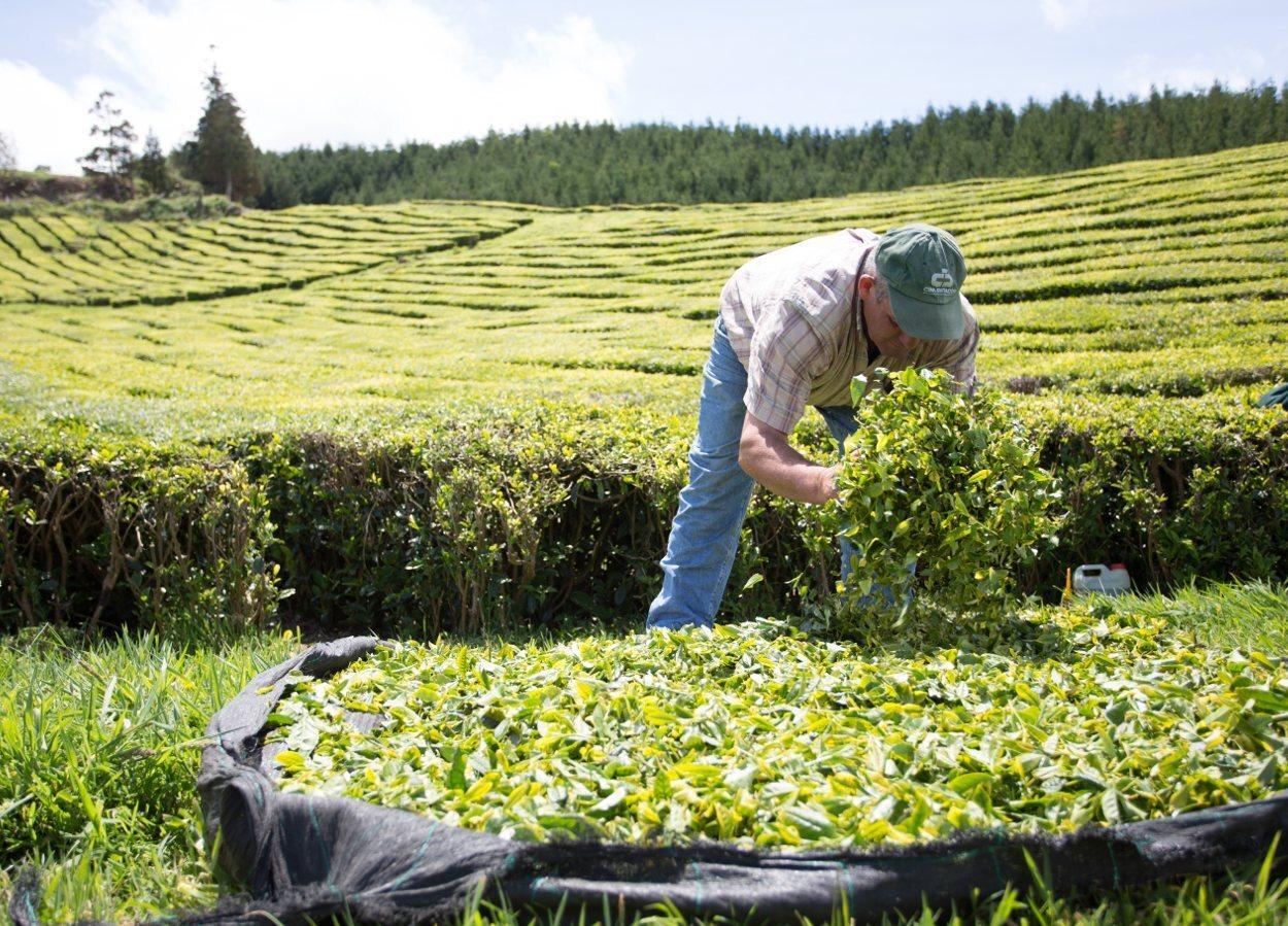 Las plantaciones de té forman parte de la cultura de Azores